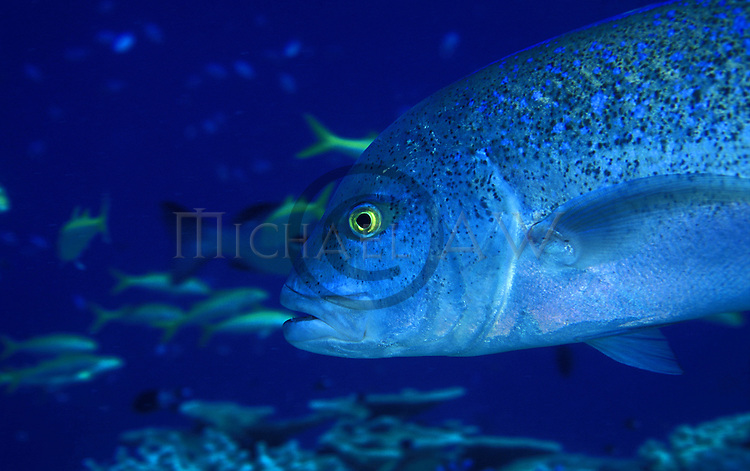 Bluefin Trevally - Caranx melampygus. Face view. Great Barrier Reef, Queensland, Australia