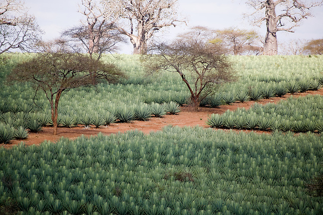 Africa, Kenya.  Sisal field dotted with Baobab and Acacia trees..