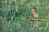 Green Heron.  Palmyra Nature Cove, New Jersey