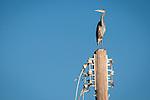 Great blue heron on top of an old power pole<br /> <br /> (Ardea herodias)