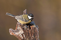 Kohlmeise, Kohl-Meise, Meise, Parus major, great tit