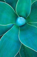 Common Agave ( agave attenivata )