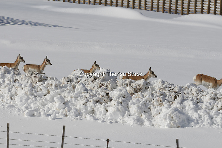 A large herd of Pronghorn Antelope, Antilocapra americana, in deep fresh snow near Elk Mountain, Wyoming
