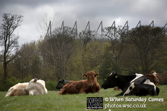 Newcastle United 1 Tottenham Hotspur 3 19/04/2015. St James Park, Premier League. A herd of cattle lying in a field behind the Leazes Stand of the stadium before Newcastle United host Tottenham Hotspurs in an English Premier League match at St. James' Park. The match was boycotted by a section of the home support critical of the role of owner Mike Ashley and sponsorship by a payday loan company. The match was won by Spurs by 3-1, watched by 47,427, the lowest league gate of the season at the stadium. Photo by Colin McPherson.