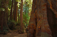 Coast redwood (Sequoia sempervirens), Henry Cowell Redwoods  State Park, California, USA