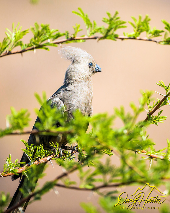 "Grey Go-Away Bird,  Pilanesberg National Park. Grey Go-Away Bird is a member of the turaco family. It is found in Southern Africa and is one of the least colorful turaco's, many of which are as colorful as parrots. The Grey Go-Away is named for its call which sounds like ""Go Away""."