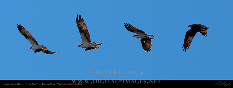 Osprey carrying Trout, Flight Study, Firehole River, Yellowstone National Park