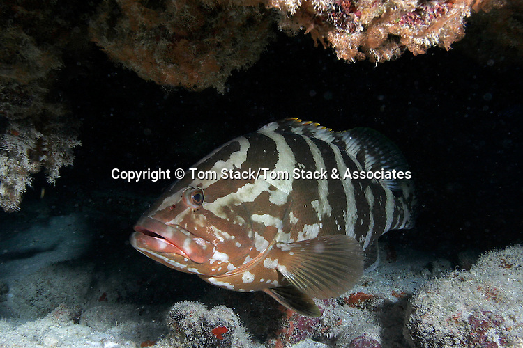 Nassau Grouper, Epinephelus striatus
