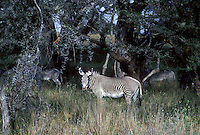 699408001 wild grevys zebra equus grevyi foraging in small thornbush forest in serengeti national park in tanzania