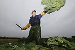 Foto: VidiPhoto<br /> <br /> HEDEL &ndash; Met uiterste precisie smijt groenteteler Wim Quik uit het Gelderse Hedel dinsdag boerenkoolstruiken op een platte kar, om die later in zijn schuur gereed te maken voor consumptie. Waar door het nog zachte weer andere telers hun kolen nauwelijks kwijt raken, heeft Quik het zo druk dat de helft van zijn oogst nu al verkocht is. Dat komt mede door het zogenoemde dubbelstrippen, een arbeidsintentief stuk nabewerking, waardoor alleen de lekkerste stukken blad bij de consument terecht komen. De kool smaakt daardoor minder bitter en is door de (wat) hogere prijs alleen te koop bij de betere groentewinkels. Wat overblijft is bestemd als veevoer.