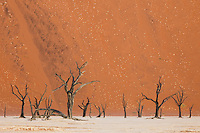 Dead acacia trees against sand dune background at Dead Vlei.