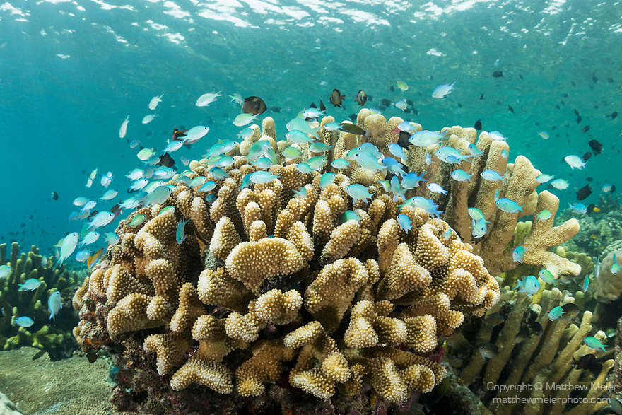 Munda, Western Province, Solomon Islands; a large aggregation of fish including blue-green chromis swimming amongst a colony of branching corals growing on the reef in shallow blue water