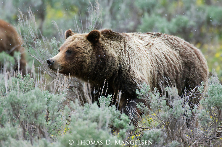 Grizzly No. 399 in sagebrush in Grand Teton National Park, WY