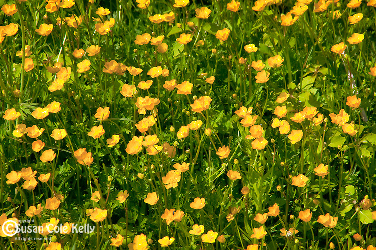 Buttercups in Winter Harbor, Gouldsboro, ME, USA