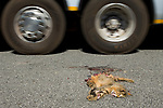 African Wild Cat (Felis lybica) killed on road, Kafue National Park, Zambia