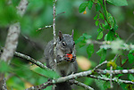 Western gray squirrel eating fruit, FB-S171  4x6 postcard back small photo, crop to vertical around squirrel