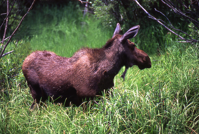 Cow Moose, Colorado