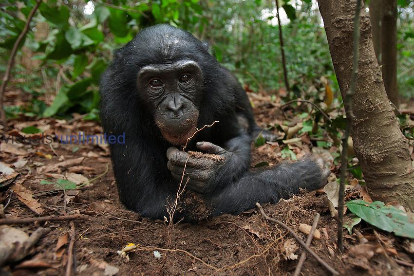 Bonobo male adolescent resting on the forest floor (Pan paniscus), Lola Ya Bonobo Sanctuary, Democratic Republic of Congo.