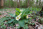 Primrose, Primula vulgaris in Spring Woodland, UK