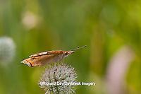 03411-011.09 Common Buckeye Butterfly (Junonia coenia) on Rattlesnake Master (Eryngium yuccifolium) Marion Co., IL
