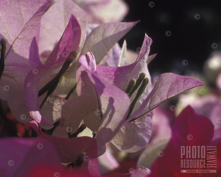 Bouganvillea closeup of delicate flowers