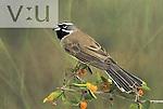 Black-throated Sparrow (Amphispiza bilineata), Arizona, USA.