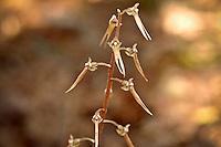 Neottieae