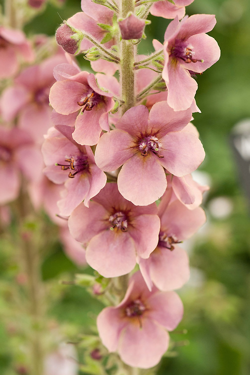 Verbascum 'Merlin'. A variety of mullein with dusky pink-pale purple flowers with brown centres and narrow brown-rimmed petals.