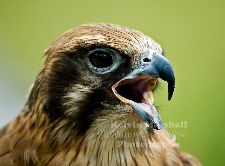 The Brown Falcon (Falco berigora), also known as the Brown Hawk, is a member of the falcon genus found in the drier regions of Australia. Its specific name berigora is derived from an aboriginal name for the bird.