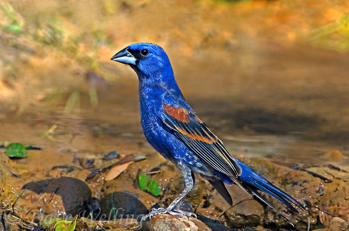 538680016 a wild adult male blue grosbeak guiraca caerulea perches on a rock by a pond in the rio grande valley of south texas