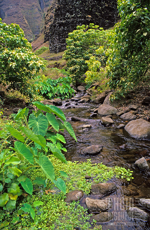 Nualolo Stream in Nualolo Aina Valley, Na Pali Coast State Park, Kauai, with wild taro, watercress, etc.