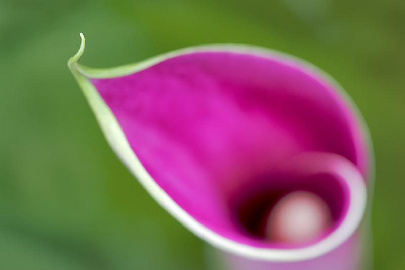 Amethyst, California callas. Calla lily.