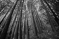 Coastal Redwoods in Muir Woods National Monument, Mill Valley, California.