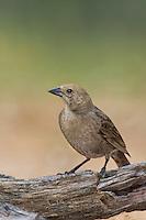 512440026 a wild female bronzed cowbird molothrus aeneus perches on a log on santa clara ranch starr county texas united states
