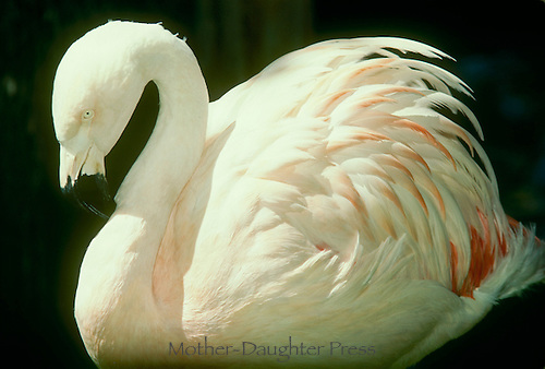 Flamingo floating with loved pink tipped feathers