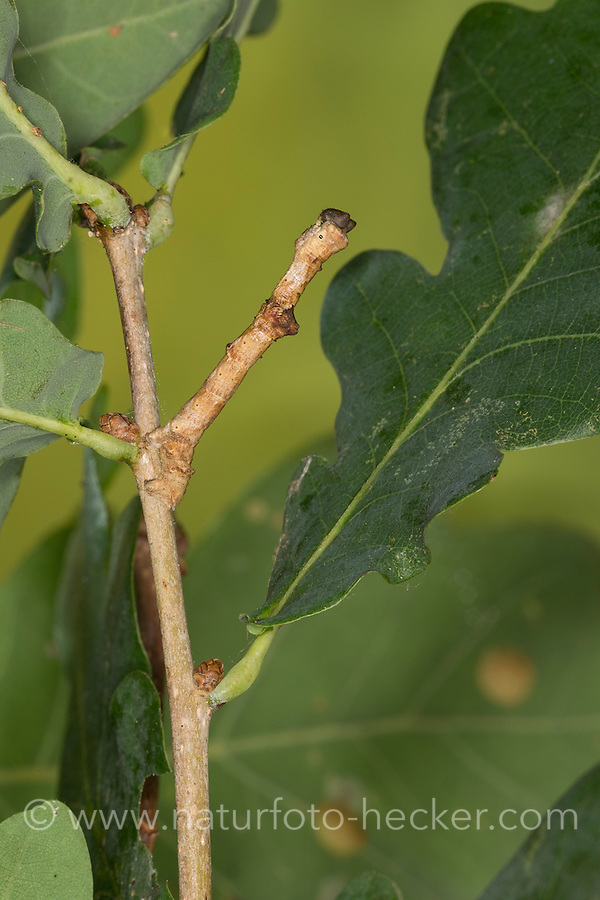 Großer Eichenspanner, Großer Rindenspanner, Raupe frisst an Eiche, Mimese, Tarnung, Tarntracht, Verbergetracht, Raupe imitiert das Aussehen eines Ästchen, Astmimese, Ästchenmimese, Ast-Mimese, Hypomecis roboraria, Boarmia roboraria, Great Oak Beauty, caterpillar, mimesis, camouflage, Spanner, Geometridae, geometer moths, geometers
