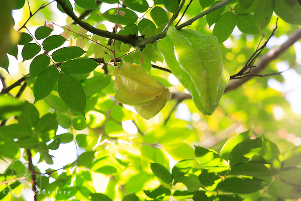 Five Finger fruit on tree, Carambola tree