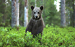 Pictured: A bear cub shows off his paw-fect moves by getting up on his hind legs to do a woodland dance.   The brown bear wowed a wildlife photographer by emerging from the undergrowth, rearing up and starting to shimmy and hand jive.<br /> <br /> The stunned snapper even said he wondered if the cub had been inspired by rap star Drake's Toosie Slide video.   After dancing for around a minute, the young bear rejoined his mother and two siblings before they all slunk back into the forest. SEE OUR COPY FOR DETAILS<br /> <br /> Please byline: Valtteri Mulkahainen/Solent News<br /> <br /> © Valtteri Mulkahainen/Solent News & Photo Agency<br /> UK +44 (0) 2380 458800