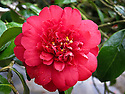 Bright-red semi-double blooms of Camellia japonica 'Chandleri', Claremont Lake, Surrey, mid March. Named after the nursery where it was raised in 1825 - Chandlers of Vauxhall.
