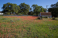 Bluebonnets and Indian paintbrush surround a small Texas Hill Country barn