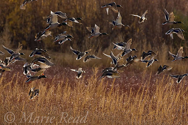 Mallards (Anas platyrhynchos) taking flight from a marsh, backlit, Bosque Del Apache National Wildlife Refuge, New Mexico, North America,