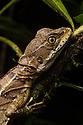 Common Basilisk lizard female  {Basiliscus basiliscus} Osa Peninsula, Costa Rica. May.