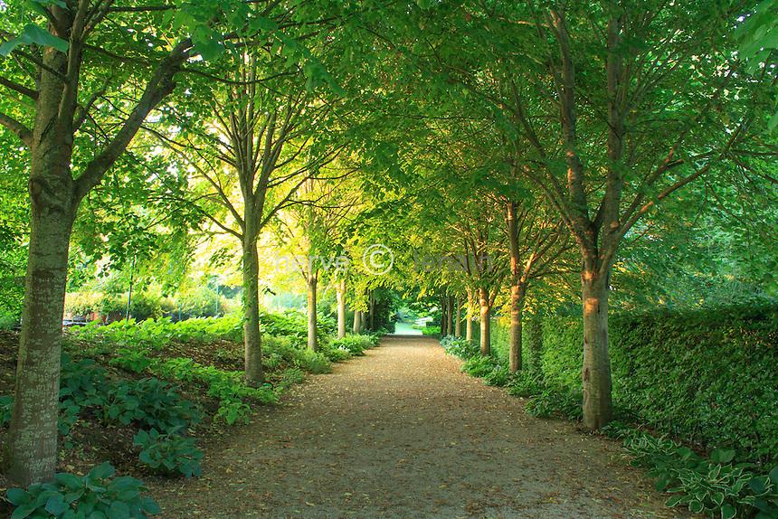 Jardins du pays d'Auge (mention obligatoire dans la légende ou le crédit photo):.allée de tilleuls.