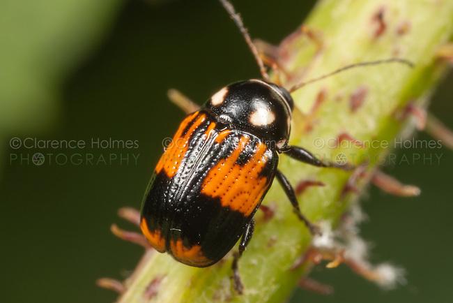 A Case-bearing Leaf Beetle (Bassareus mammifer) perches on plant stem.