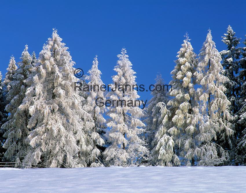 Germany, Bavaria, Upper Bavaria, Berchtesgadener Land, Winter scenery - snow covered firs