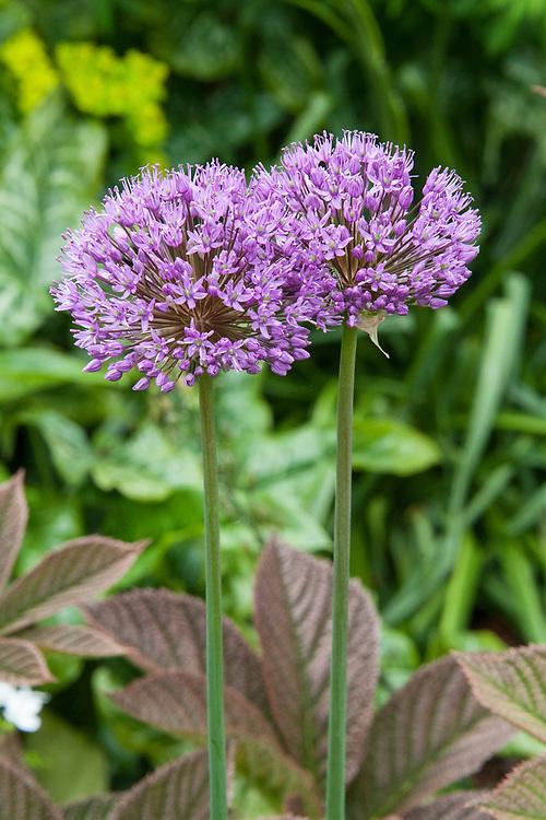 Allium 'Purple Sensation', late May.