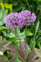 Allium 'Purple Sensation', late May.