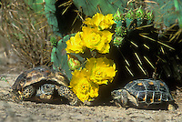 481158003 two wild texas tortoises gopherus berlandieri rest under a blooming opuntia plant with yellow wildflowers in the rio grande valley south texas