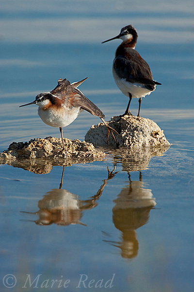 Wilson's Phalaropes (Phalaropus tricolor), two perched on small tufa outcrop in the water, one stretching its wing, Mono Lake, California, USA
