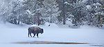 Yellowstone National Park, WY <br /> American Bison (Bison bison), or American Buffalo at forest edge in the upper geyser basin, winter